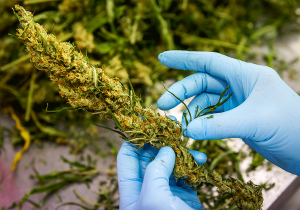 Nieuw onderzoek naar gebruik opiaten en medicinale cannabis