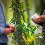 Migräne kann mit medizinischem Cannabisöl gelindert werden