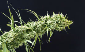 Cannabis-Varianten