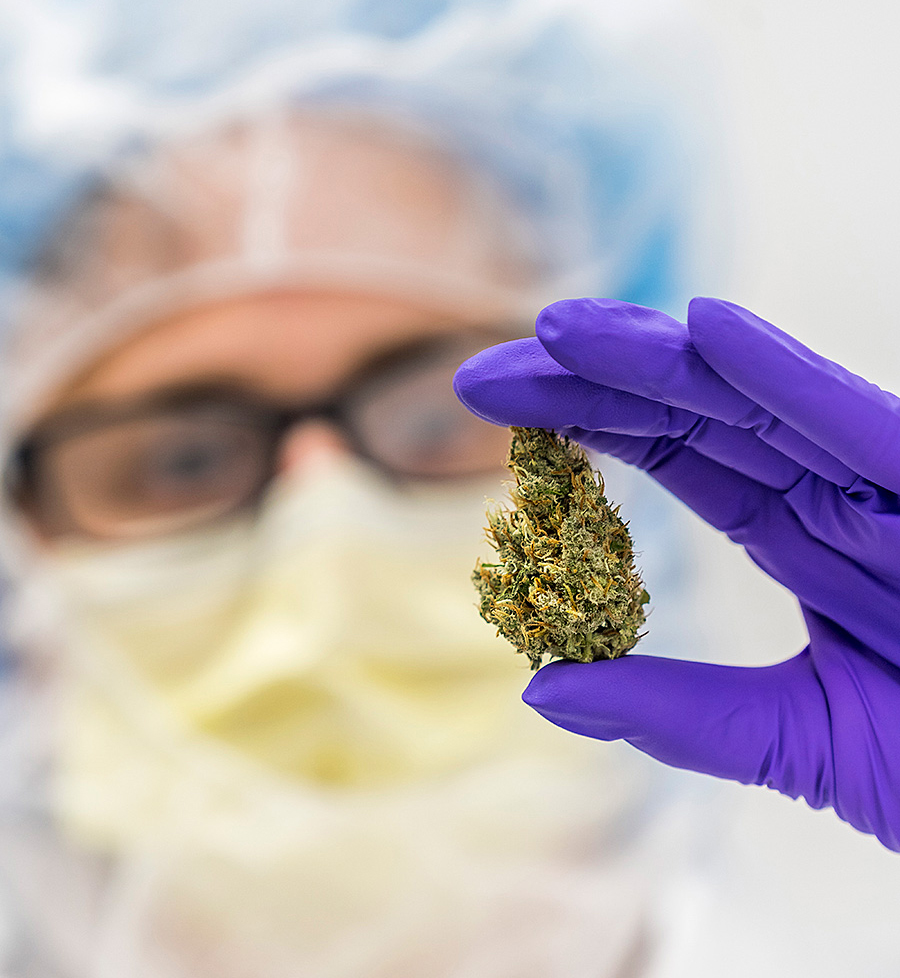 Cannabis Flos