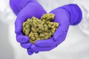 Medicinal cannabis flos