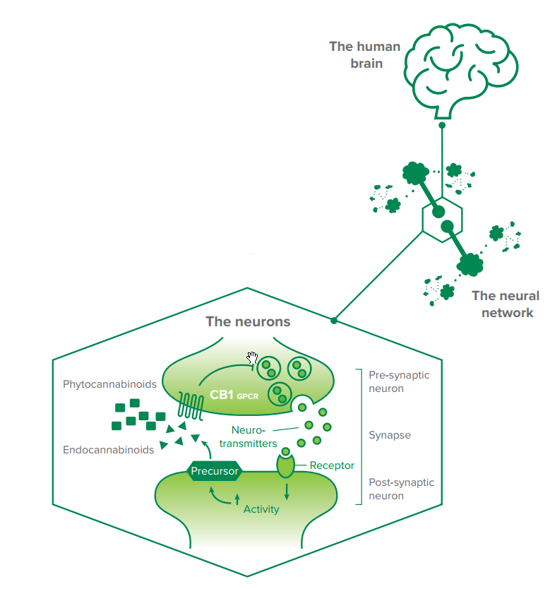 Endocannabinoidsystem (EDS)