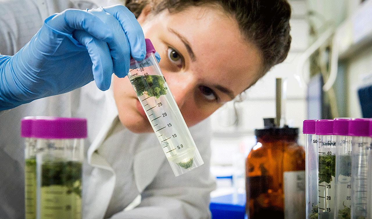 Laboratory Medicinal Cannabis By Bedrocan 14