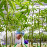 Inspection cannabis plants